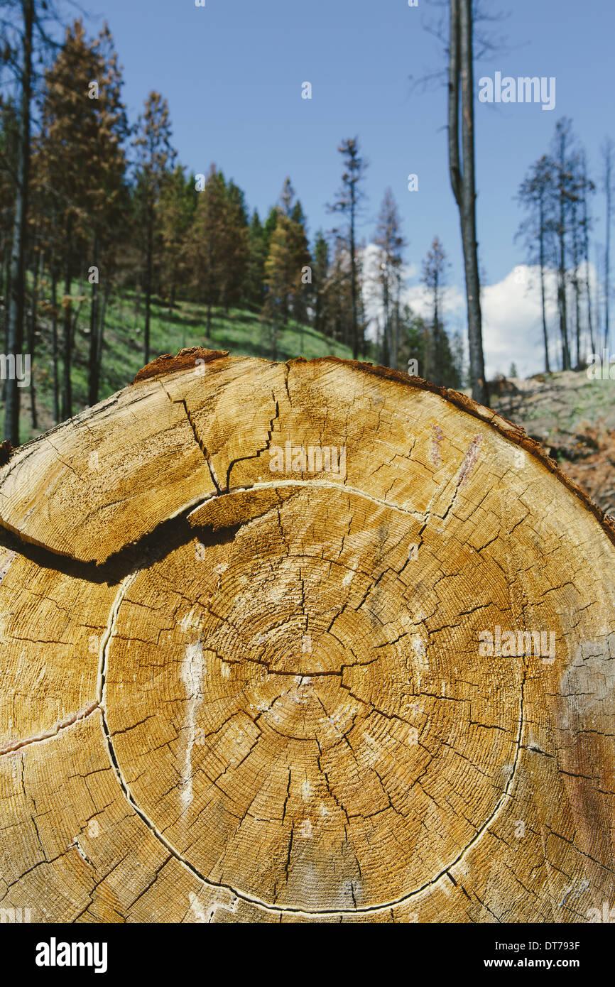 Ponderosa-Kiefer in vor kurzem verbrannten Wald (aus dem 2012-Tafelberg-Feuer), schneiden Okanogan-Wenatchee NF, in der Nähe von Blewett Pass Stockbild