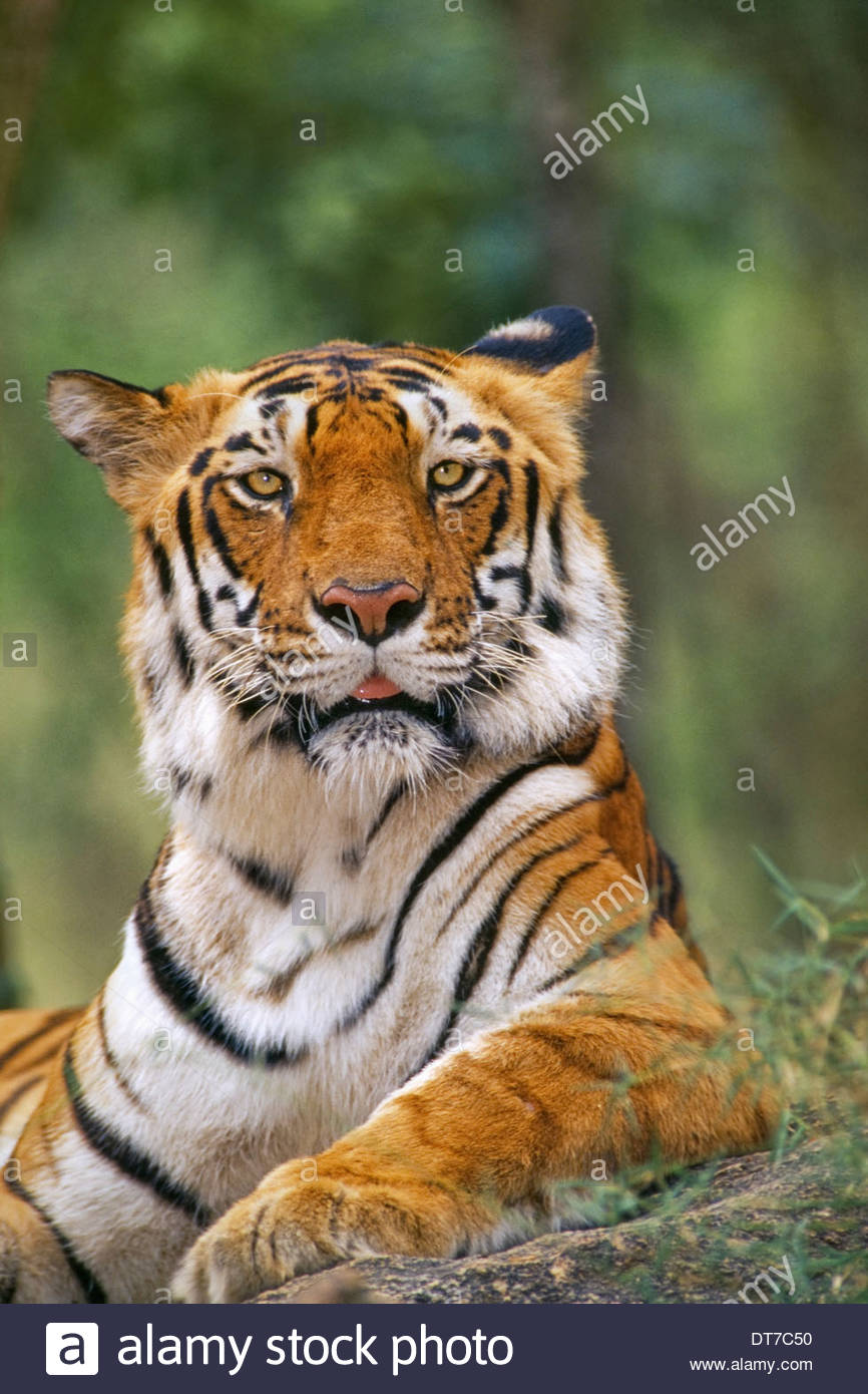 Bengal Tiger Panthera Tigris Tigris Western Ghats Indien Western Ghats Indien Stockbild