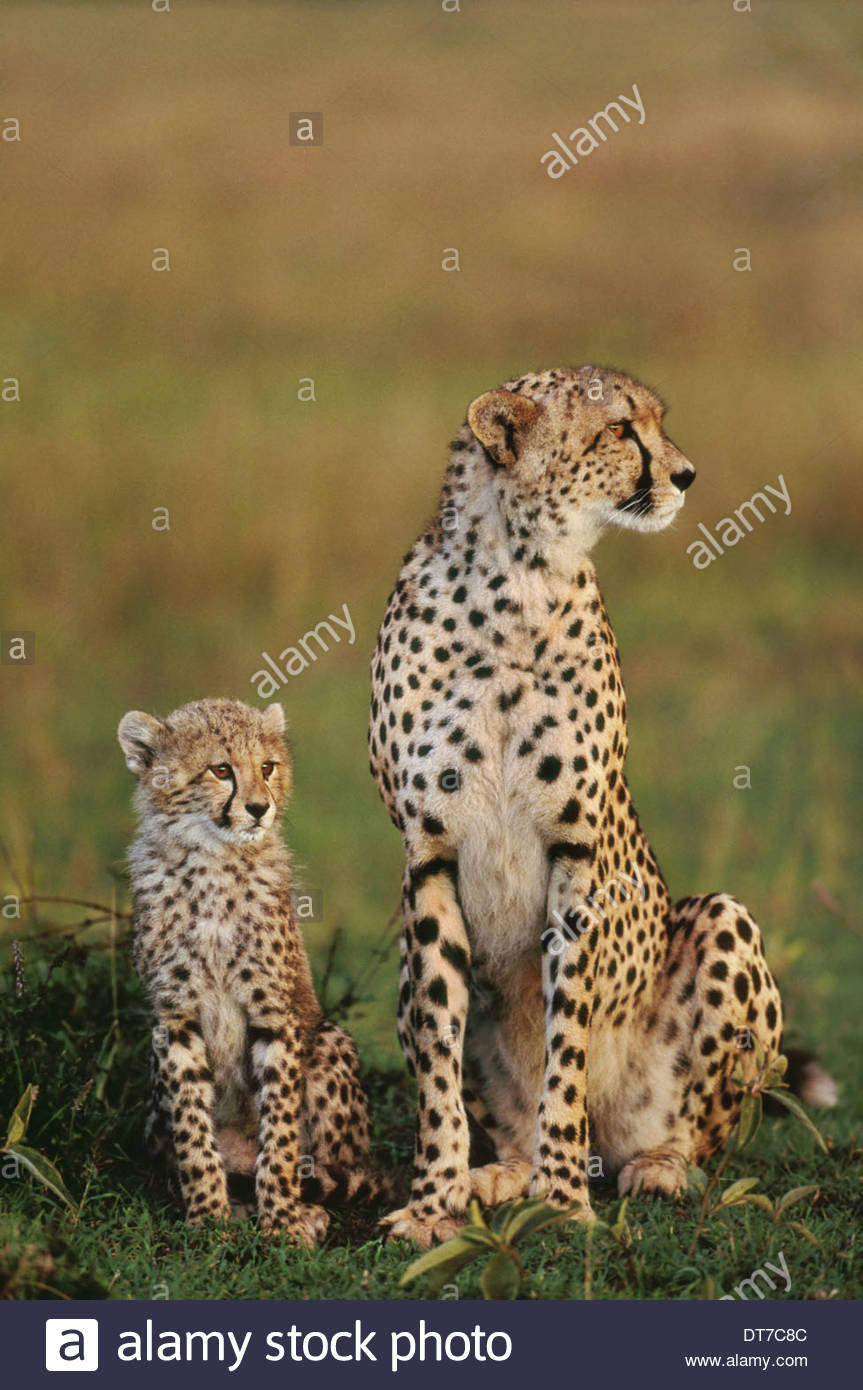 Geparden Mutter und Jungtier Acinonyx Jubatus Masai Mara Reserve Kenia Masai Mara Reserve Kenia Stockbild