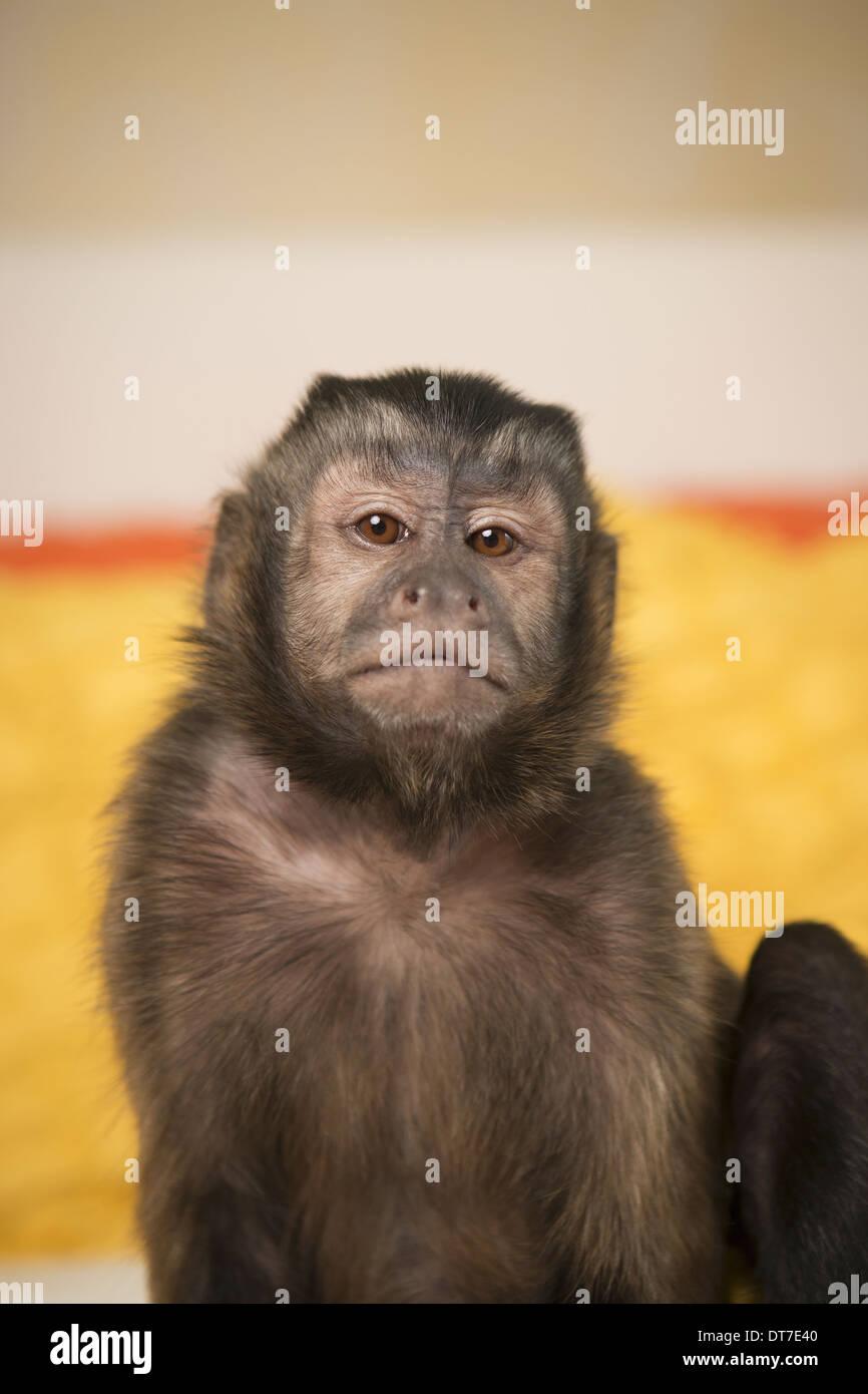 Ein Kapuziner Affe sitzt auf einem Bett in einem Schlafzimmer Austin Texas USA Stockbild