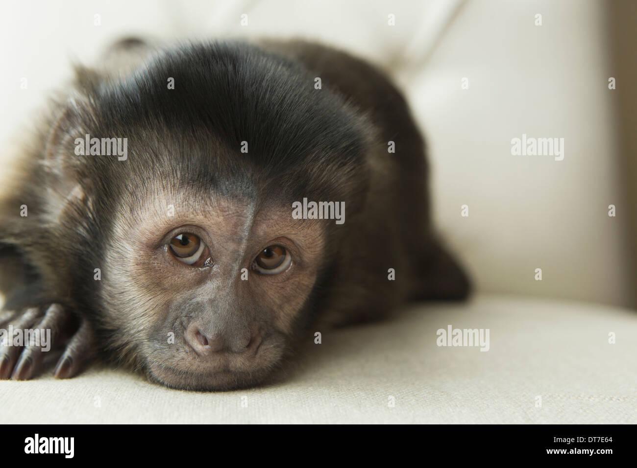 Ein Kapuziner-Affen in einem Schlafzimmer liegen auf einem gepolsterten Stuhl suchen verlassene Austin-Texas-USA Stockbild