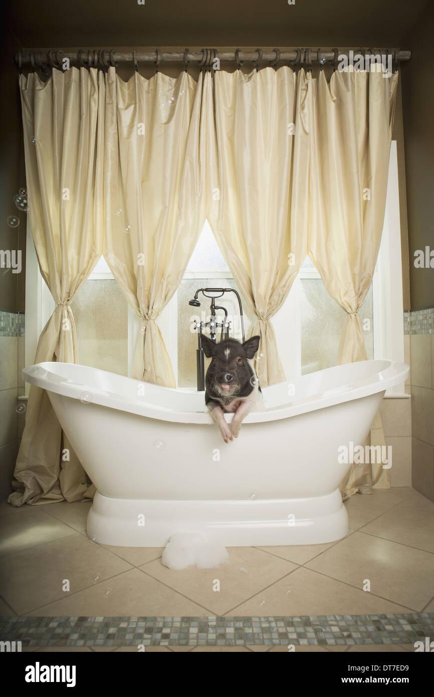 Ein Mini-Pot bellied Schwein in einer Badewanne, Blick durch den Duschvorhang Austin Texas USA Stockbild