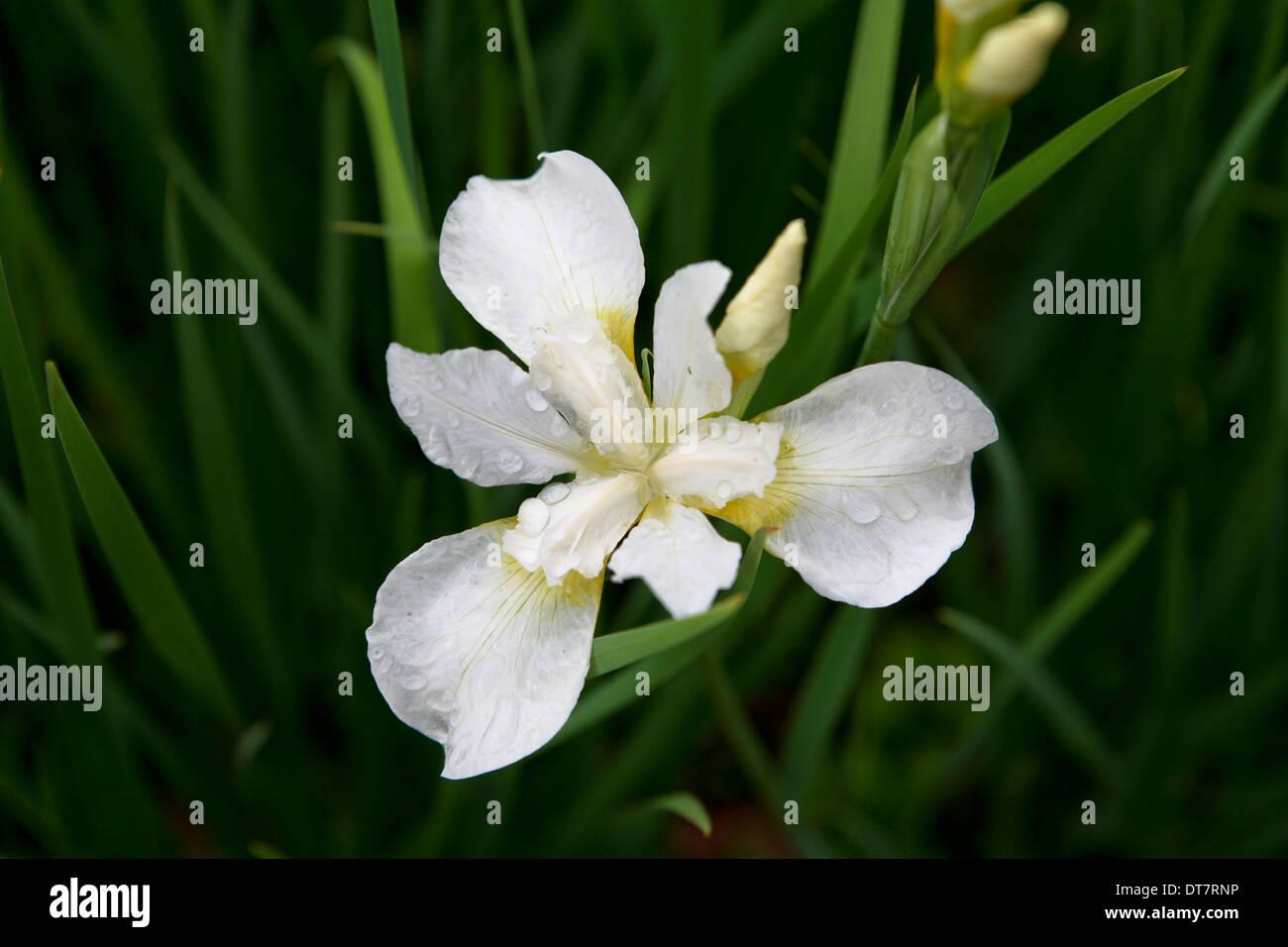 Iris 'White Swirl' / sibirische Iris Blume Stockfoto