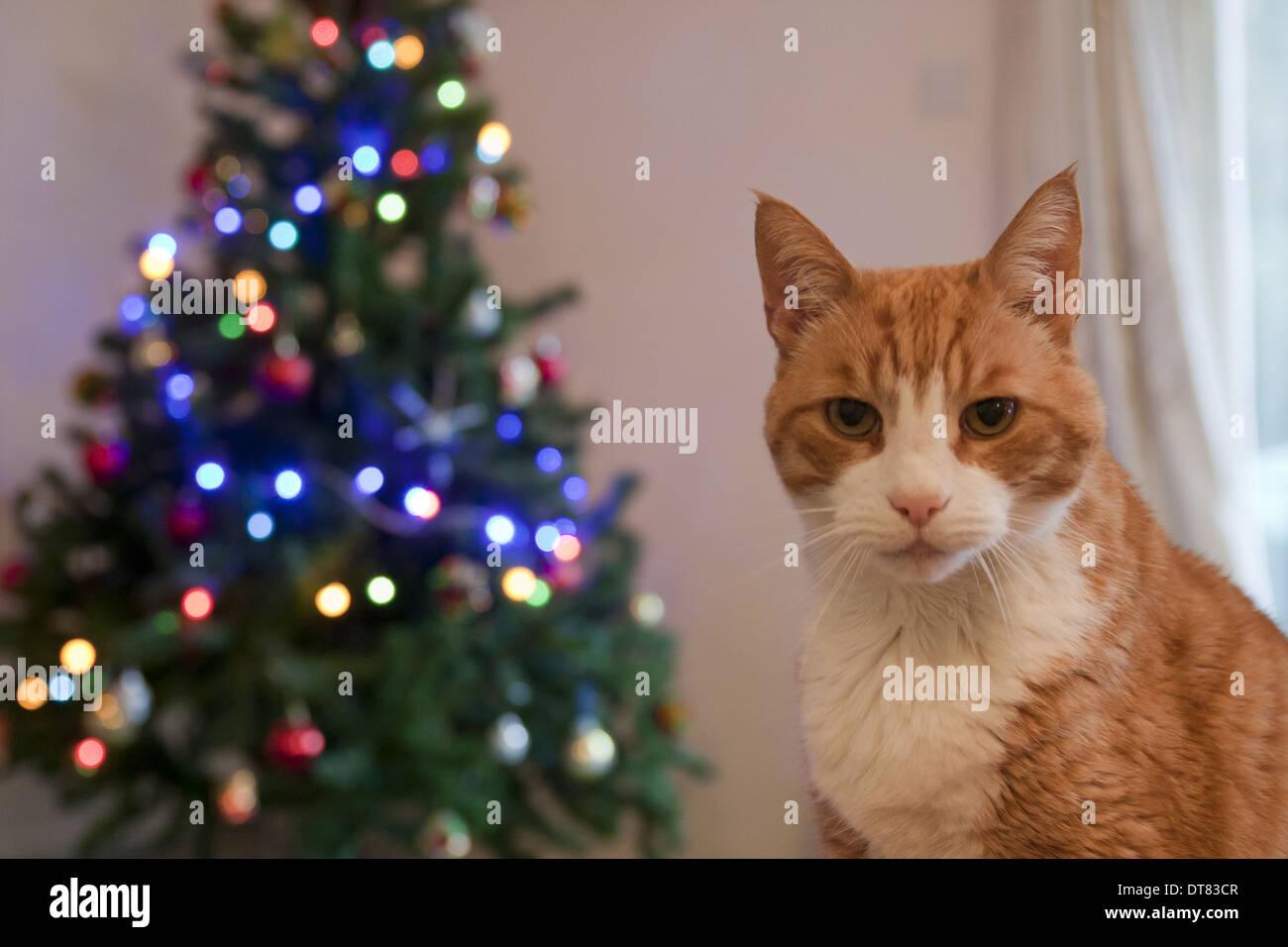 Weihnachtsbaum England.Hauskatze Ingwer Tabby Männchen Nahaufnahme Des Kopfes Und Der