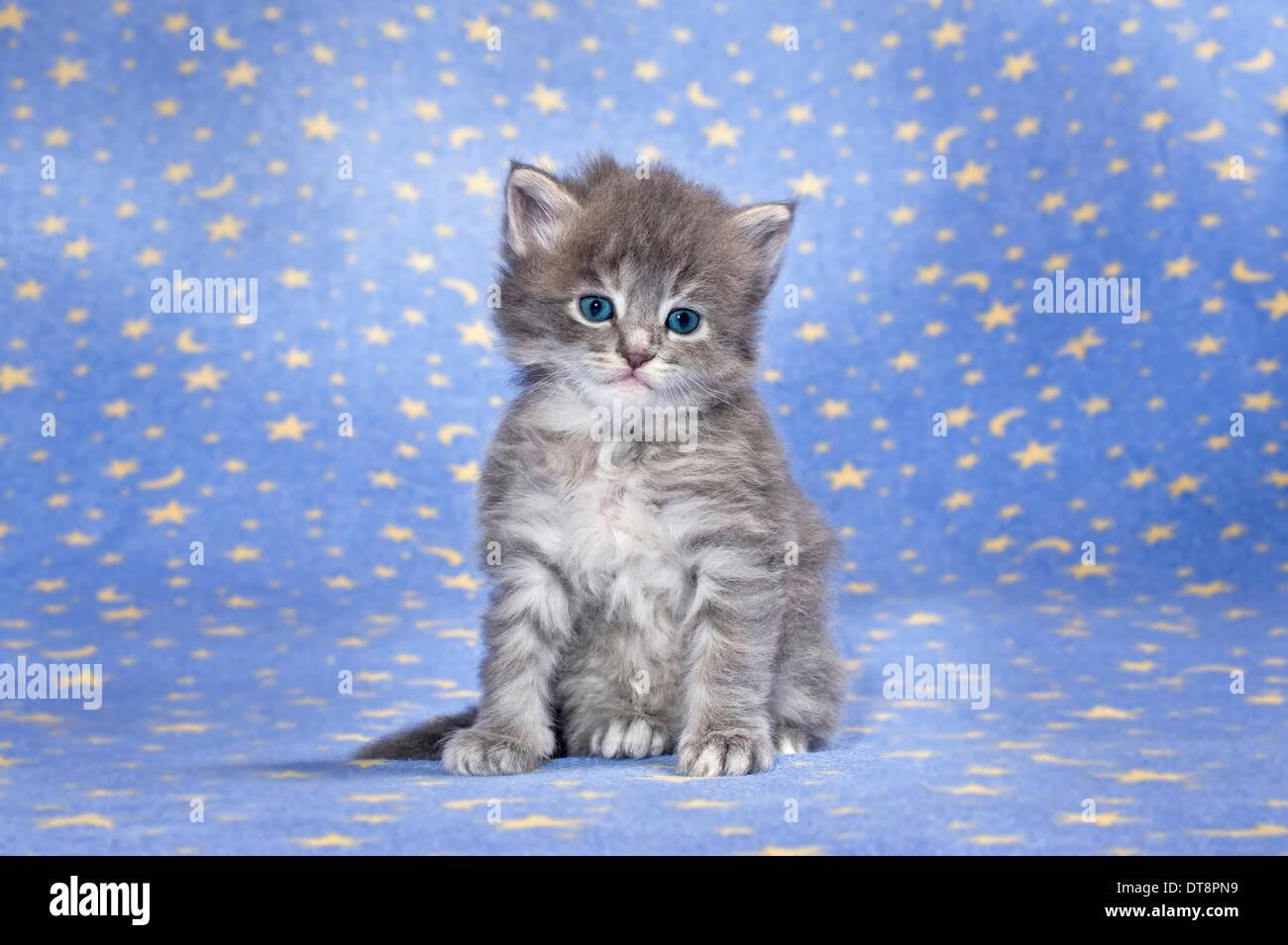 amerikanische langhaar maine coon kitten blau tabby 4 wochen alt sitzt auf einer blauen. Black Bedroom Furniture Sets. Home Design Ideas