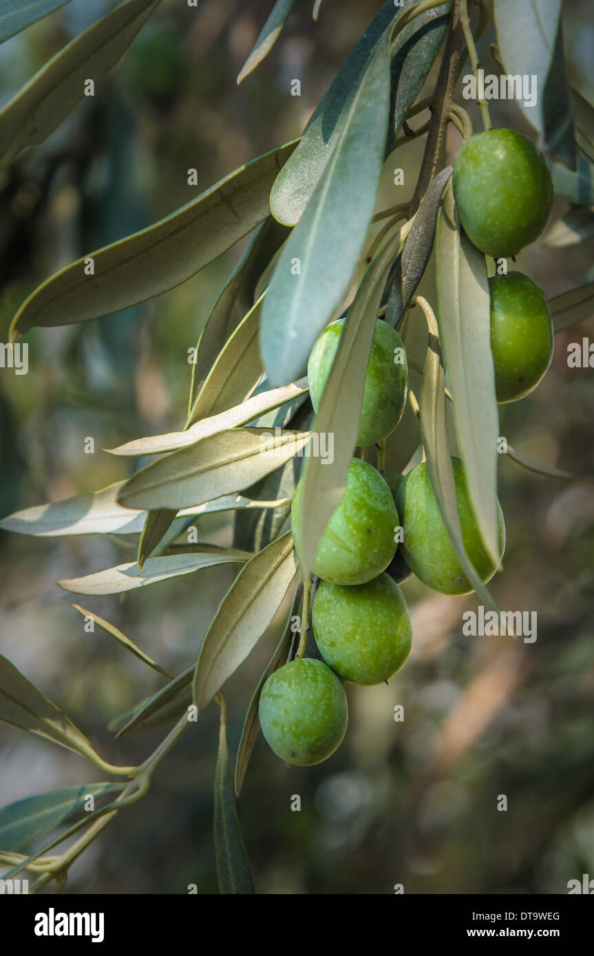 Olivenbaum-Zweig Stockbild