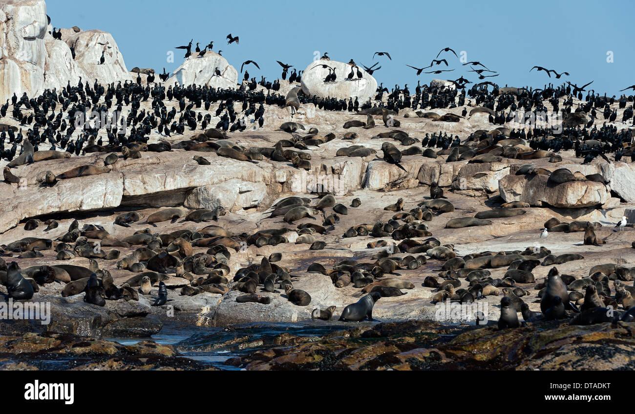 Seal Island liegt mitten in der False Bay bei Kapstadt in Südafrika. Stockbild