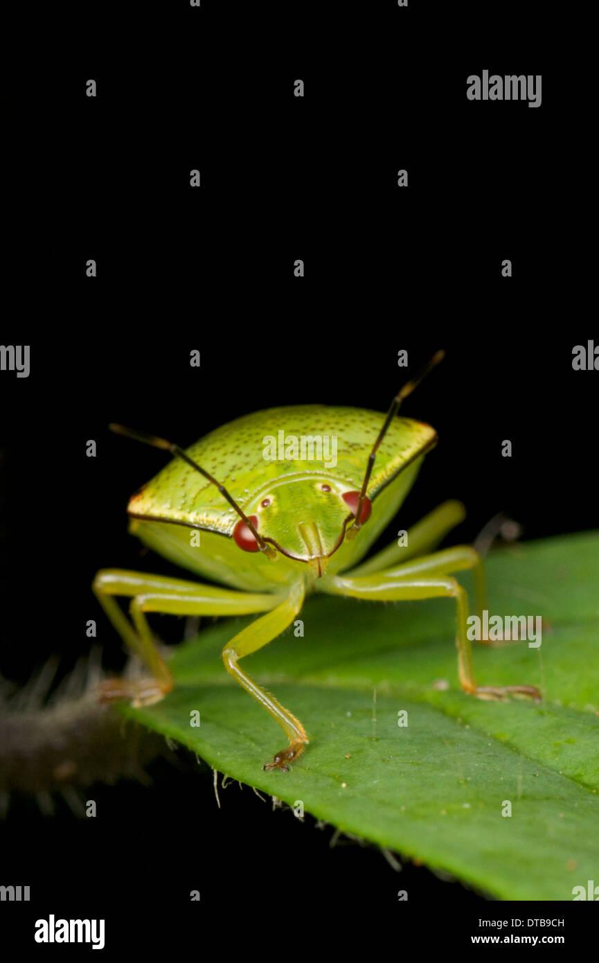 Pentatomidae, griechische Pente, d. h. fünf und Tomos Bedeutung Abschnitt, sind eine Familie der Insekten gehören zur Ordnung Hemiptera Stockbild