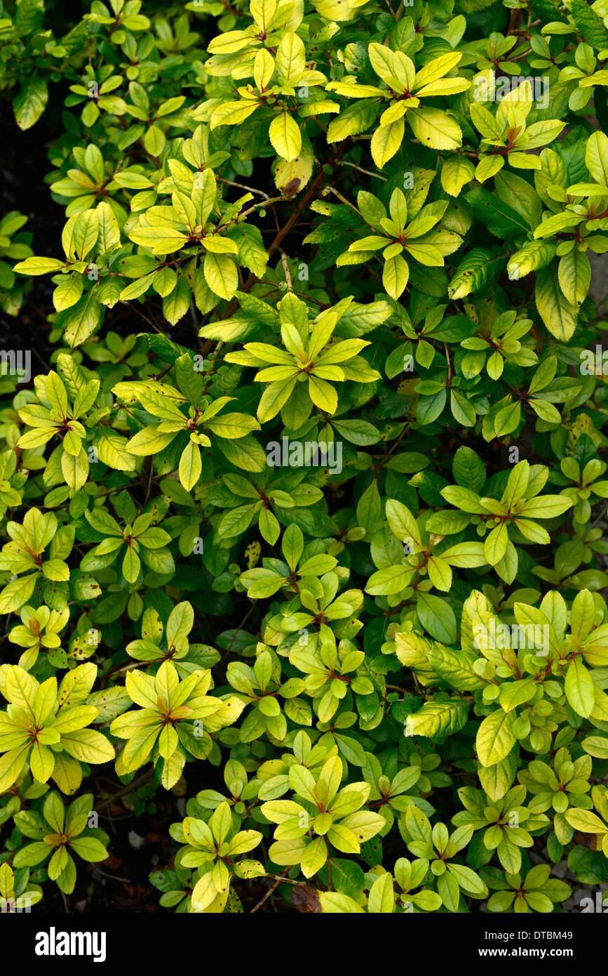 Blattgold verlässt Laub goldene Farbe Farbe Busch Strauch