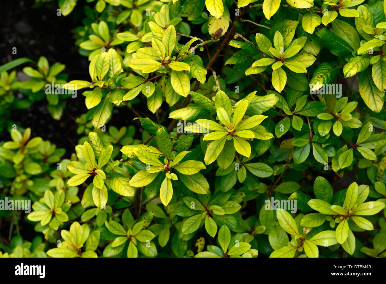 Escallonia Laevis Stockfotos & Escallonia Laevis Bilder Alamy