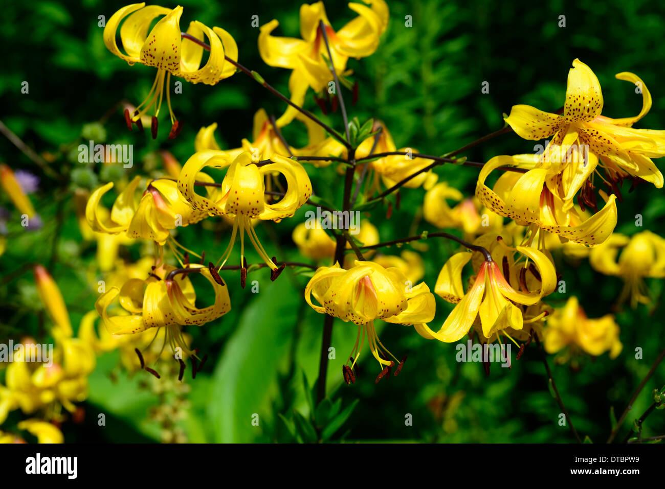 lilium leichtlinii gelb braun orange gesprenkelt markierungen blüten