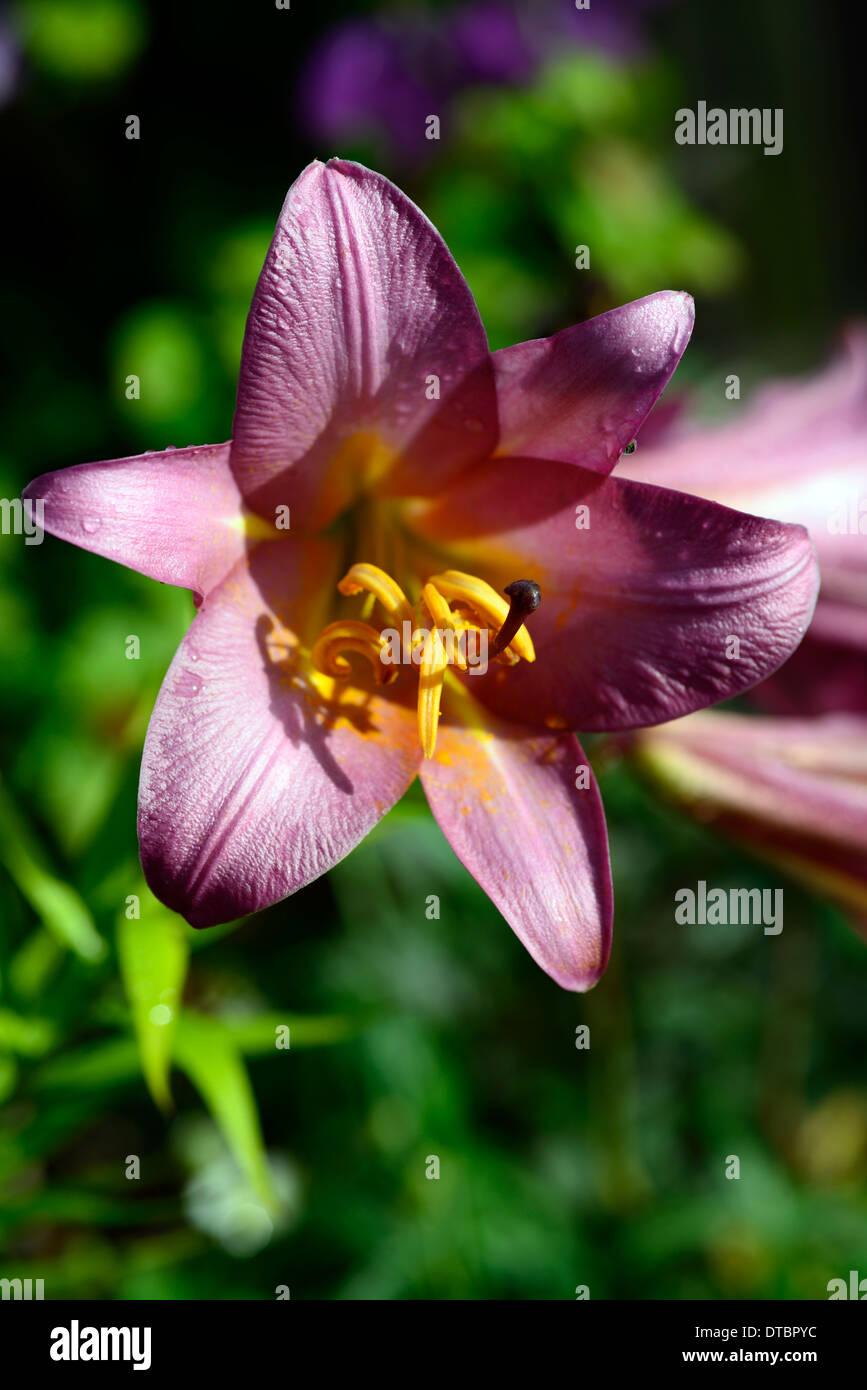 Lilium pink Perfektion Trompete Lilie Lilien rosa aromatisch duftende Blume Blüten blühen Blumen Stockbild