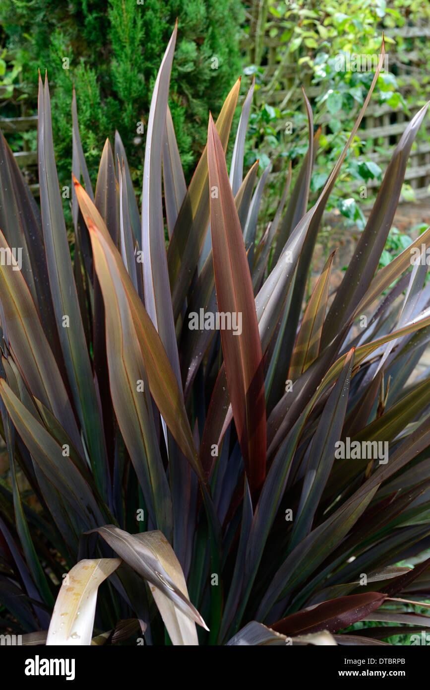 Phormium schwarze Kreuzotter Neuseeland Flachs Laub Blätter dunkel lila aufrecht Stockfoto