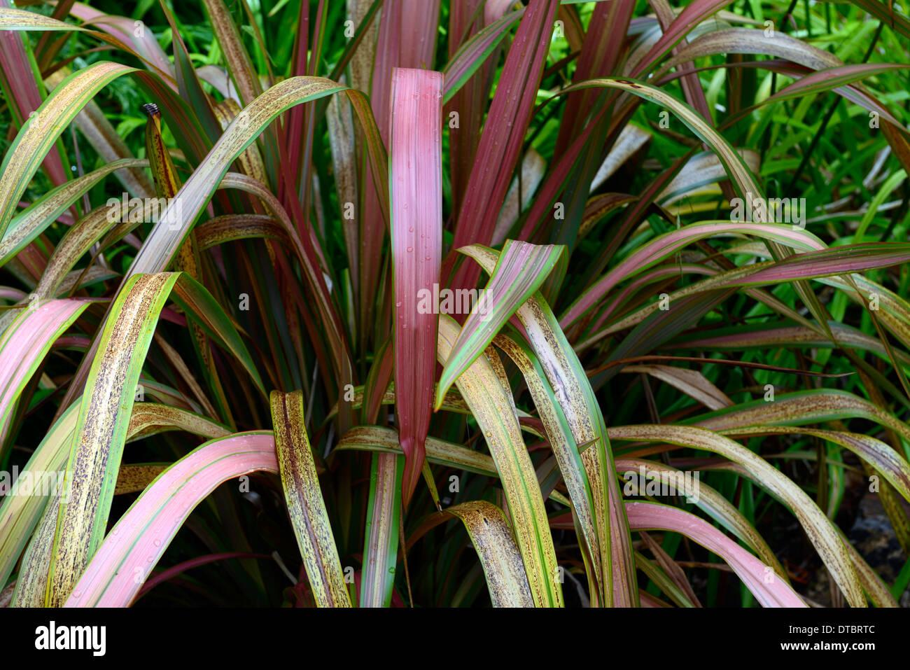Phormium Narr Neuseeland Flachs Laub Blätter grün roten Riemchen Orange rosa Bronze bunt gemustert Stockfoto