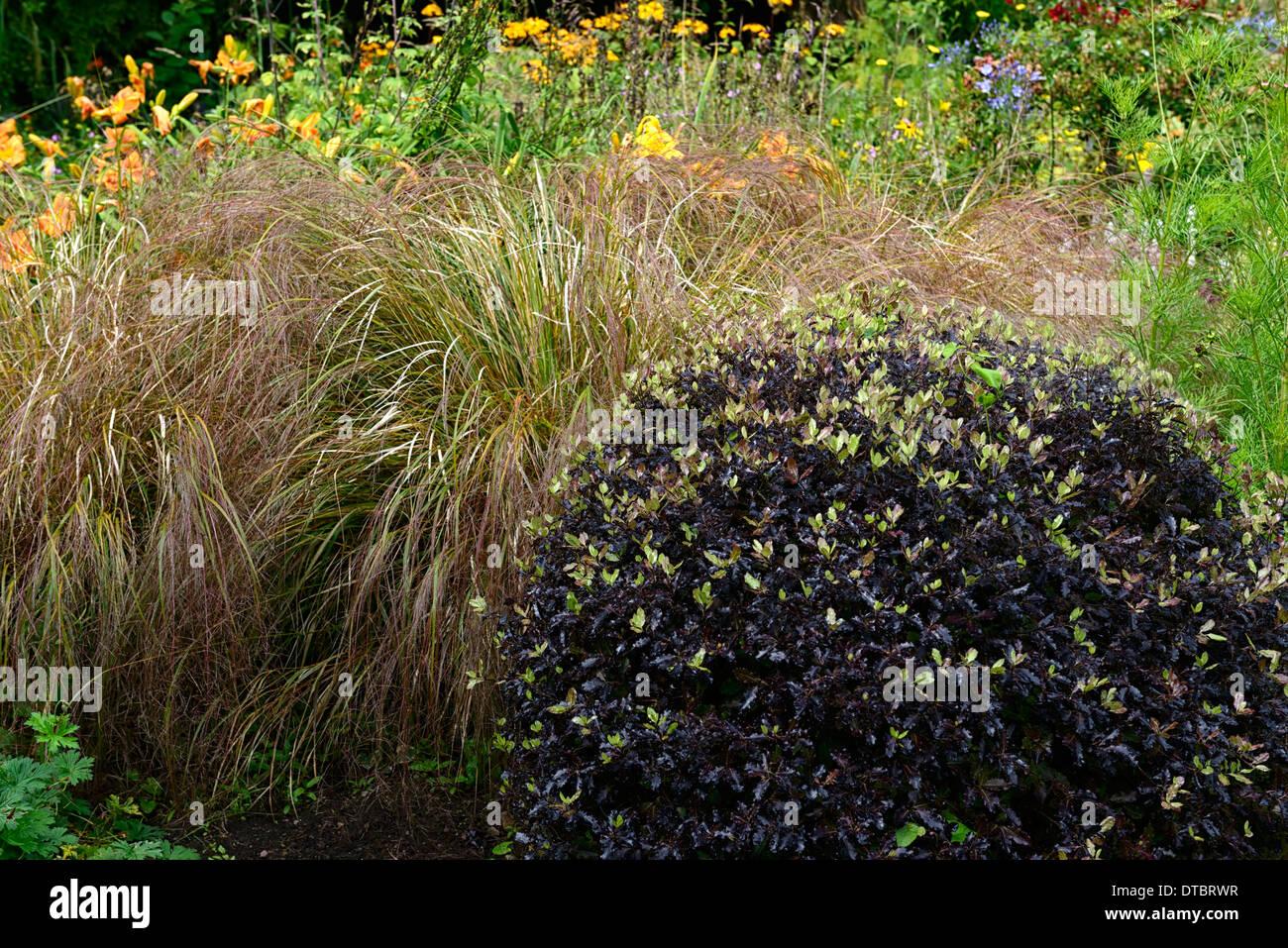 Pittosporum tenuifolium daumesdick gr n lila schwarz laub for Lila und grun kombinieren