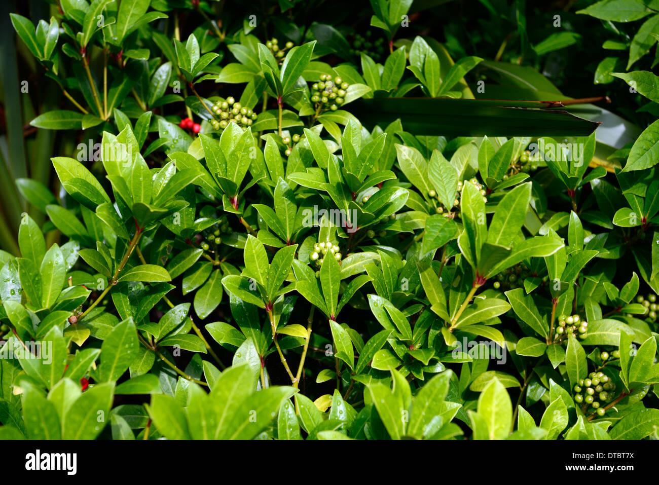 Skimmia Japonica Nymans grüne Blätter Laub immergrüne Sträucher