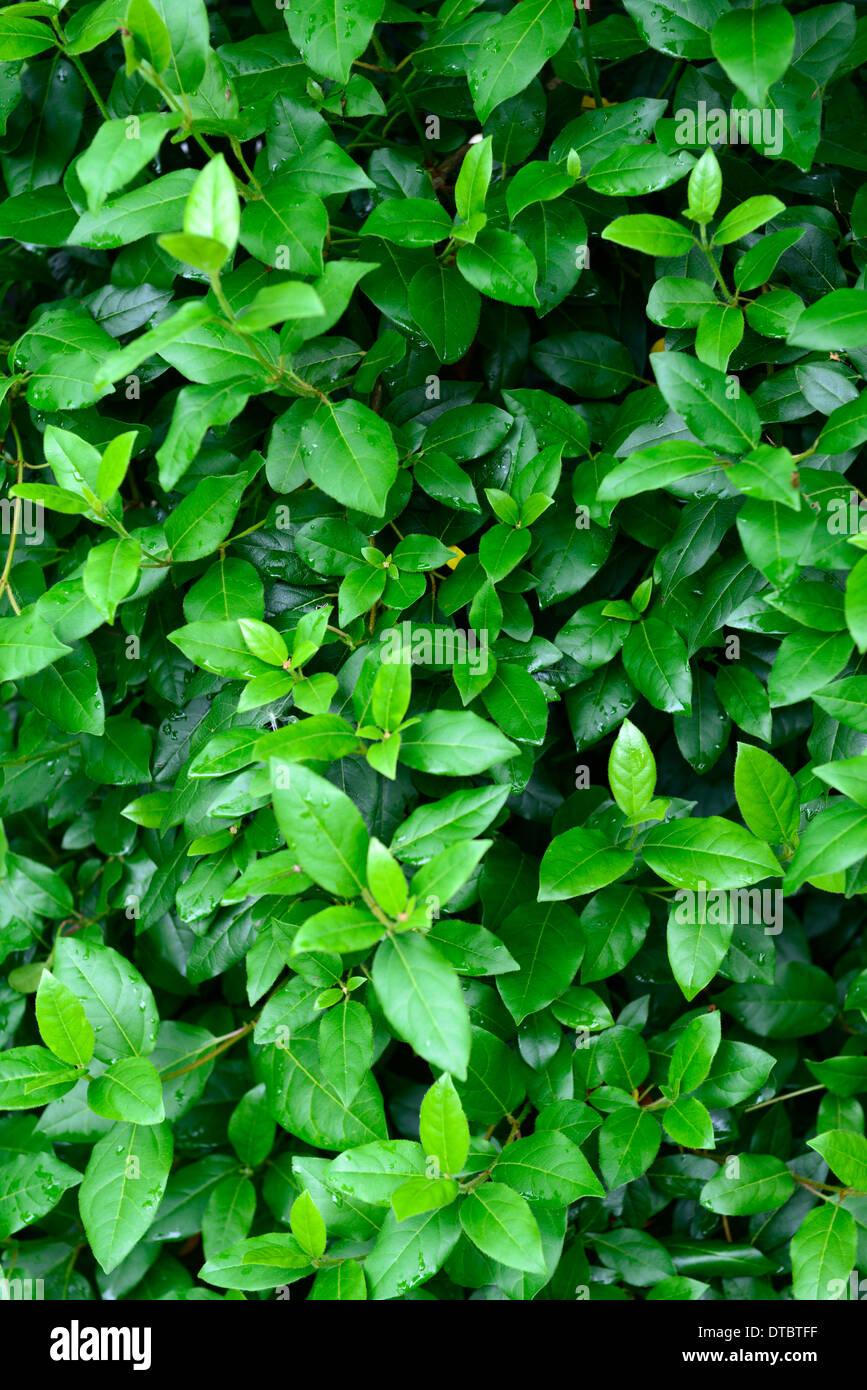 Viburnum Tinus Eva Preis schmalblättrigen grüne Blätter Laub dichten Strauch Sträucher Stockbild