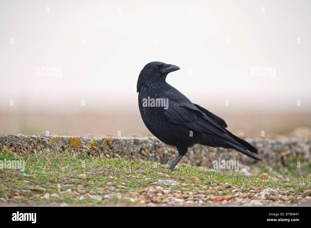 AAS-Krähe Corvus Corone. UK Stockbild