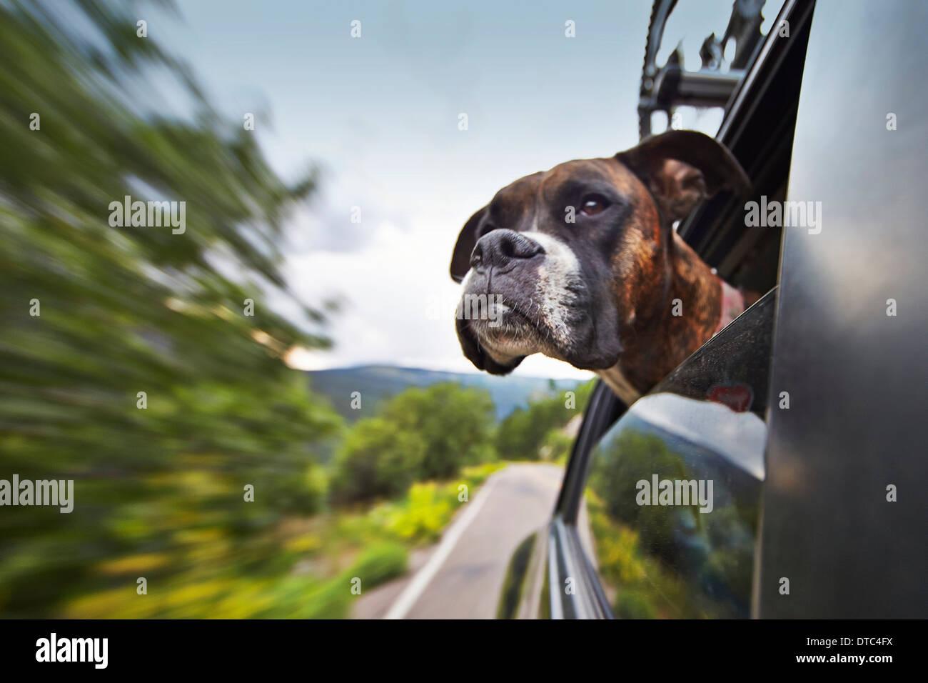 Hund aus dem Autofenster unterwegs Stockbild
