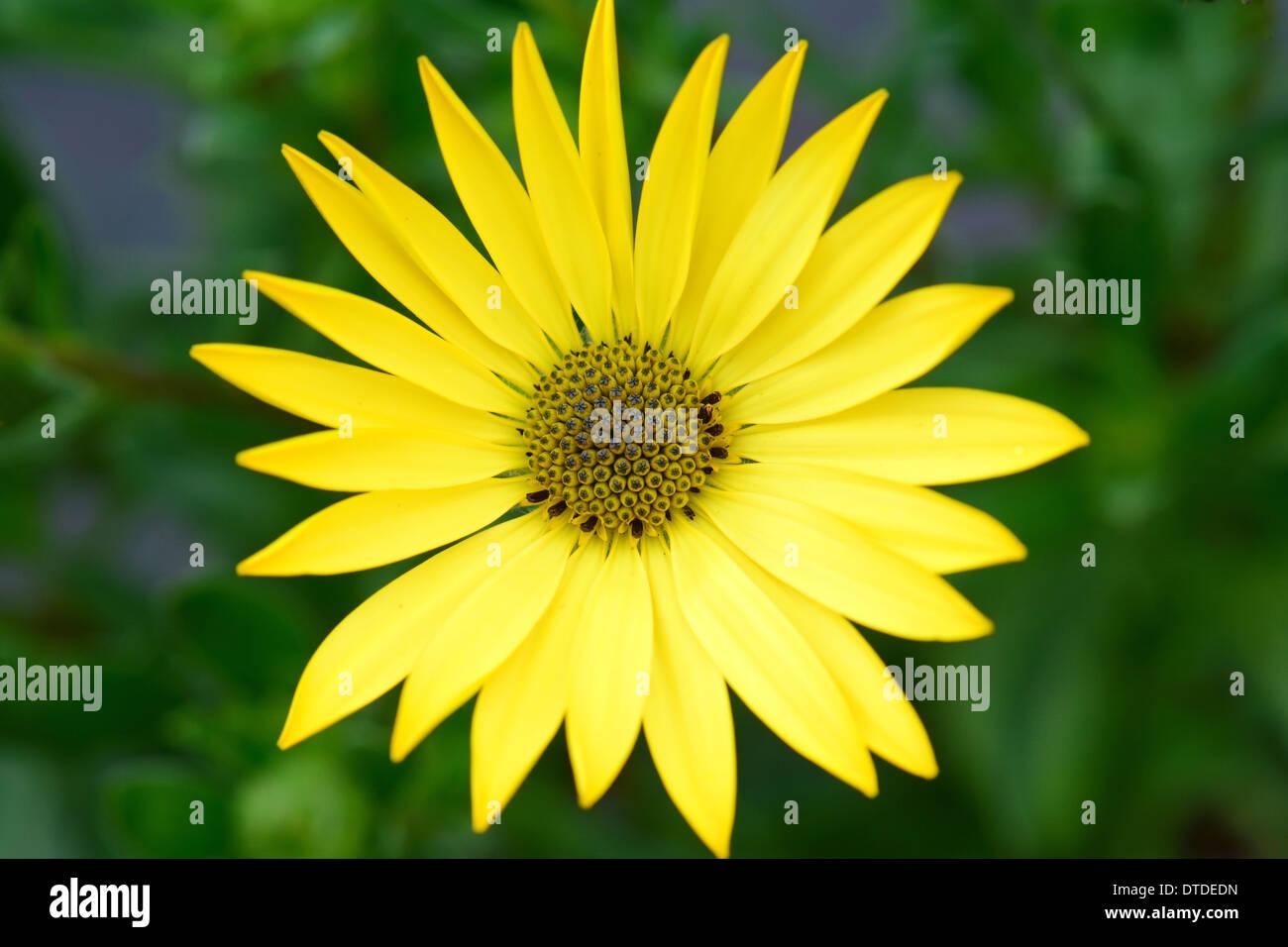 Osteospermum - gelbe Blume Stockfoto