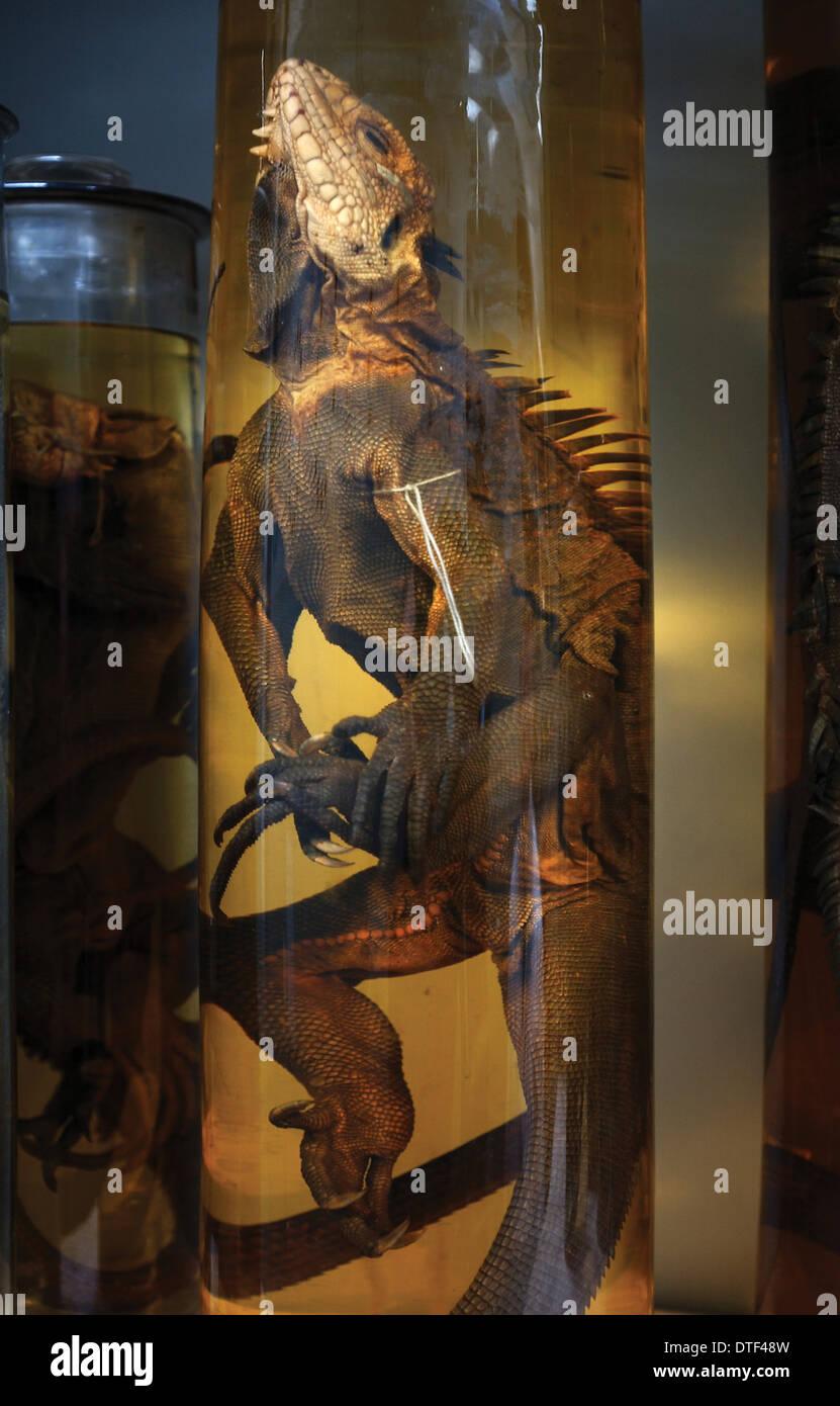 Iguana Delicatissima, westindischer Leguan Stockbild