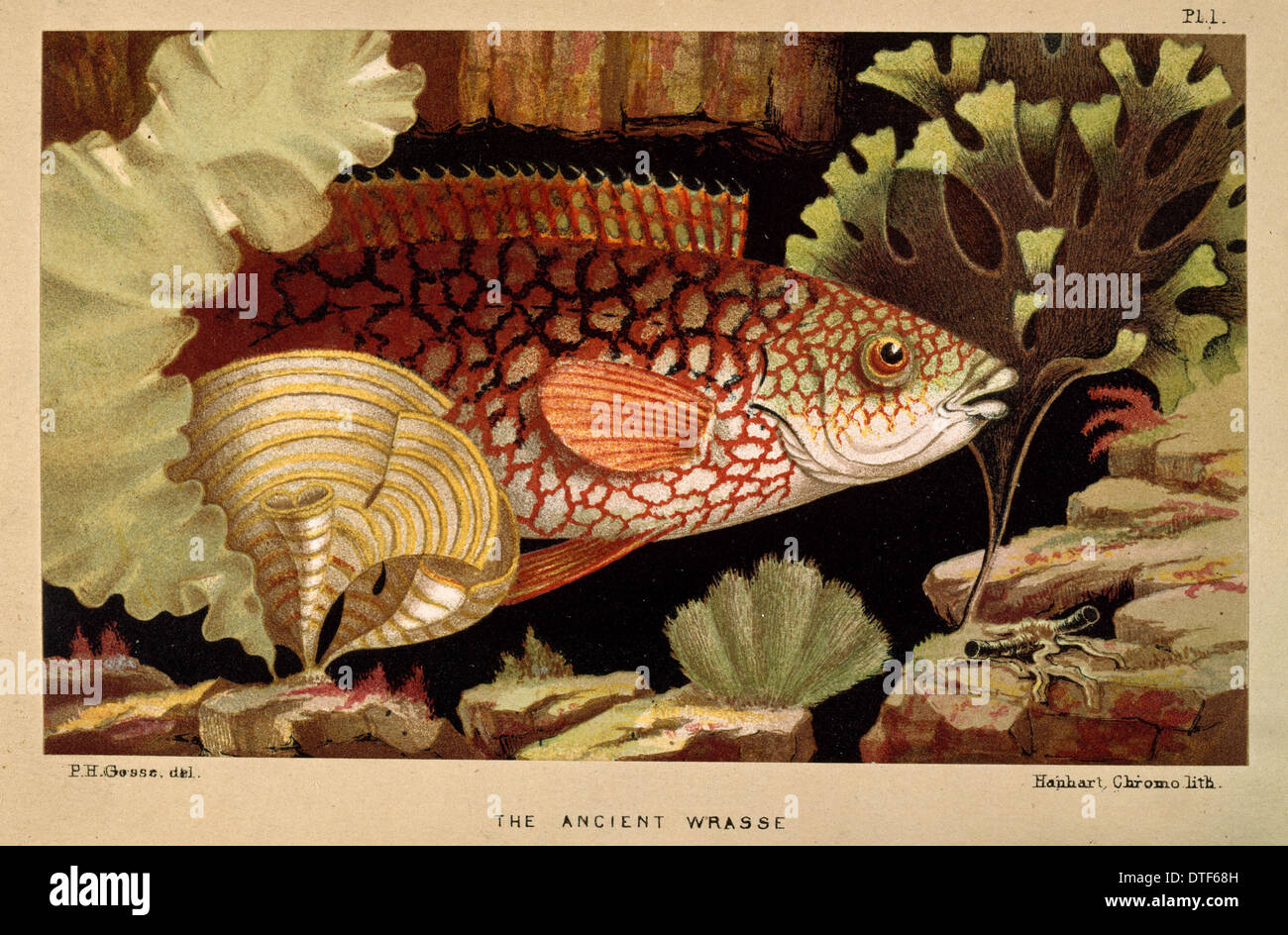 Alten Lippfisch - Frontispiz aus dem Aquarium Stockbild