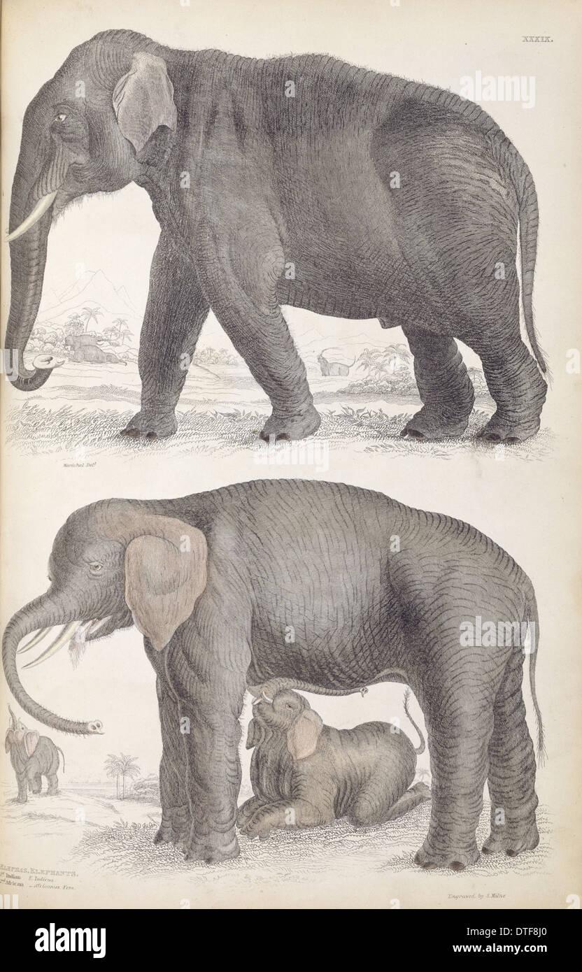 Elephas Maximus, Asiatischer Elefant & Loxodonta Africana ...