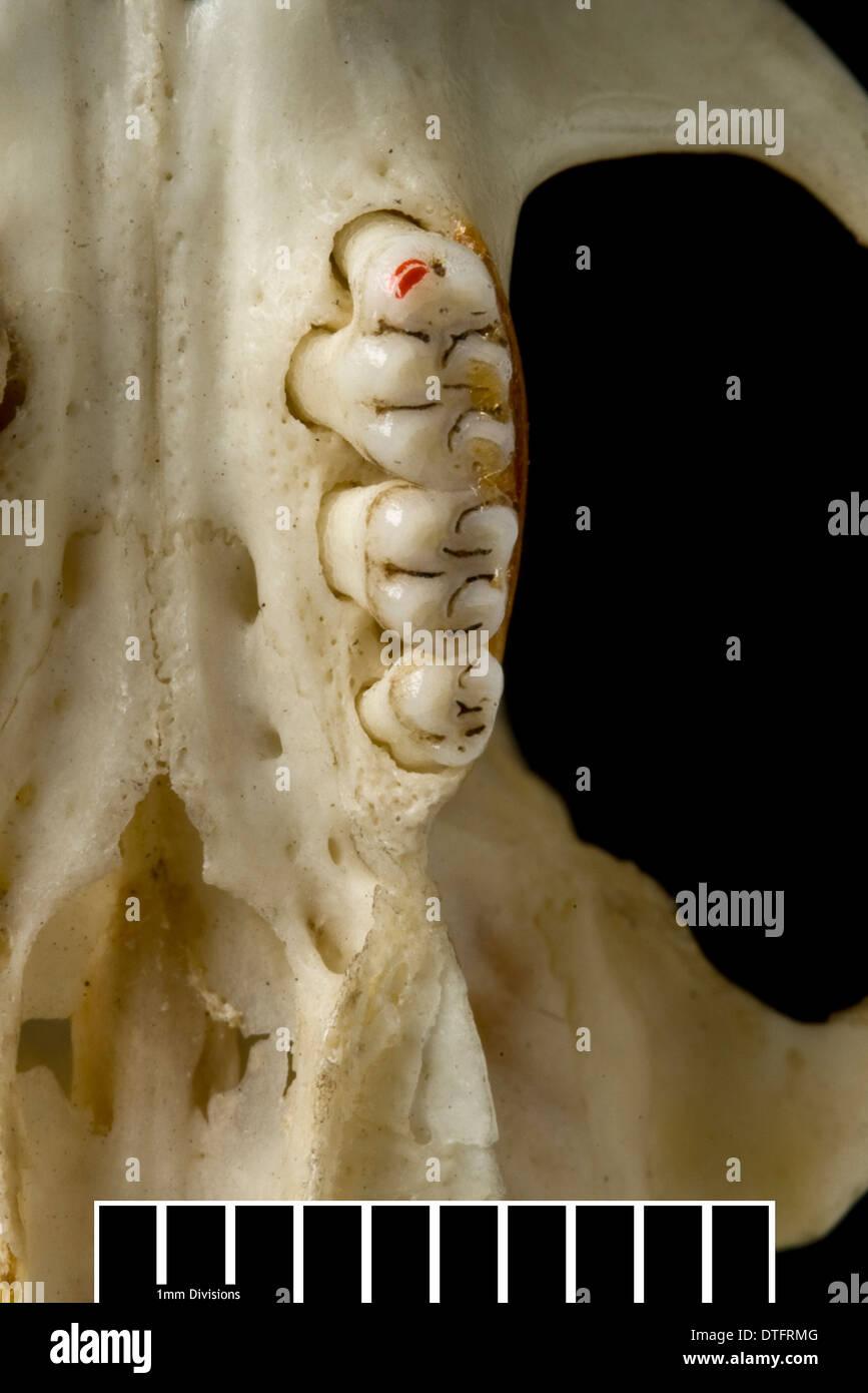 Megalomys Luciae, Saint Lucia riesige Reis-Ratte (Holotypus) Stockbild
