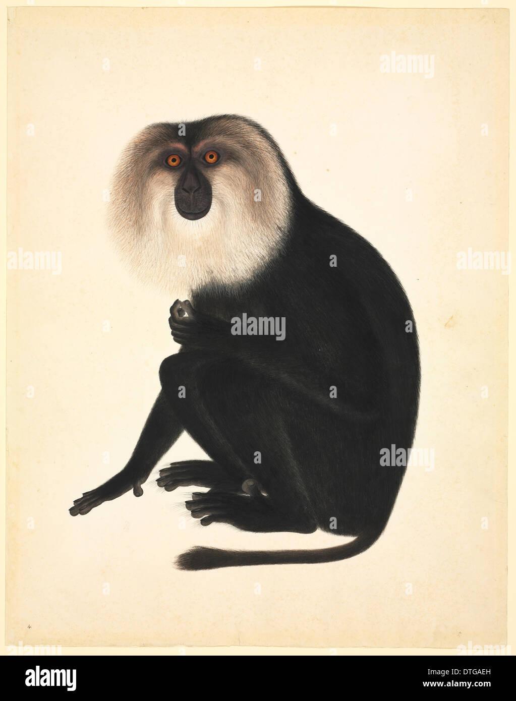 Löwe-behaarte Makaken, Macaca Silenus c. 1820: John Reeves Collection (Zoologie) Stockfoto