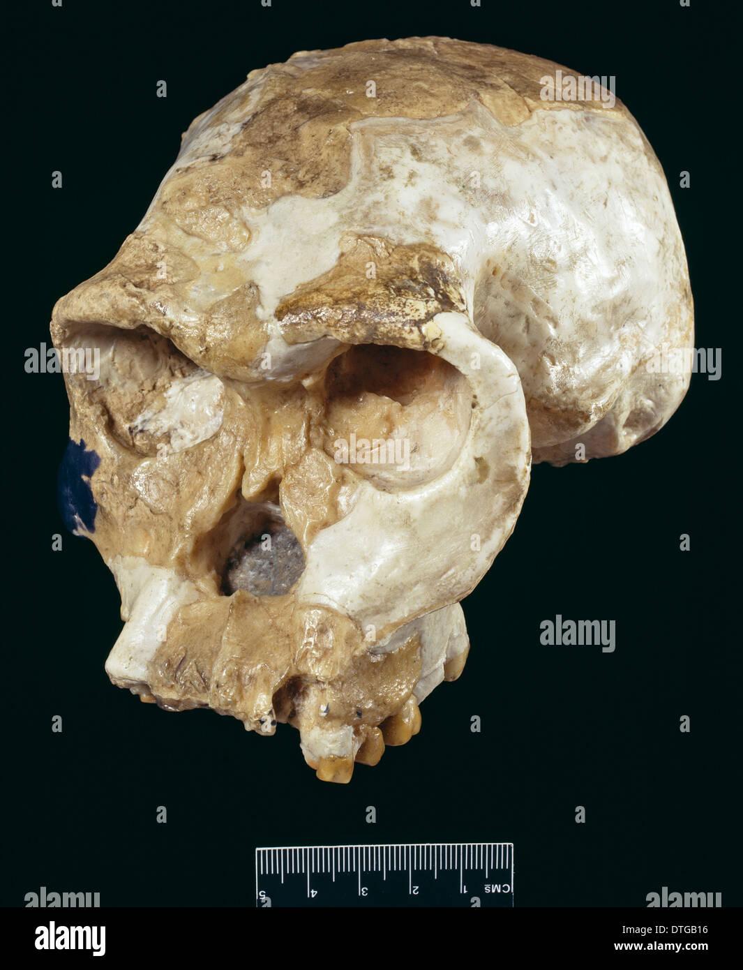 Schädel von Homo Habilis (OH24) (Rekonstruktion) Stockbild