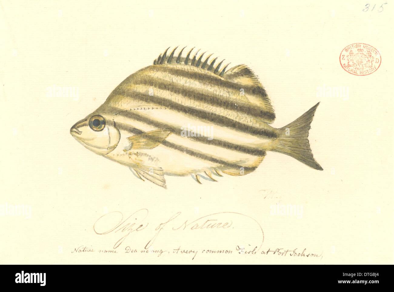 Australian stripey fish stockfotos australian stripey fish bilder alamy - Aquarium hintergrund ausdrucken ...