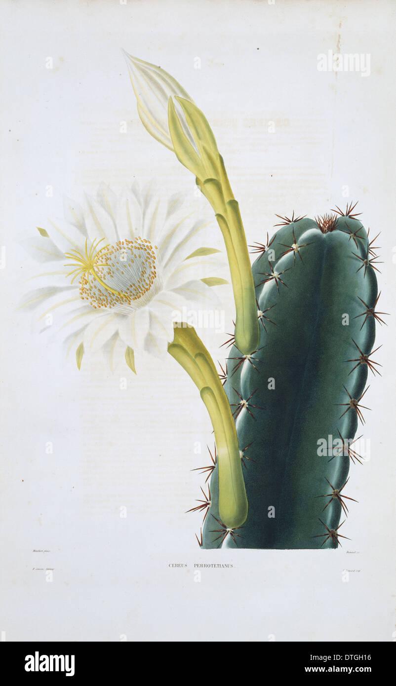 Cereus Perrotetianus, Dame der Nacht Kakteen Stockbild
