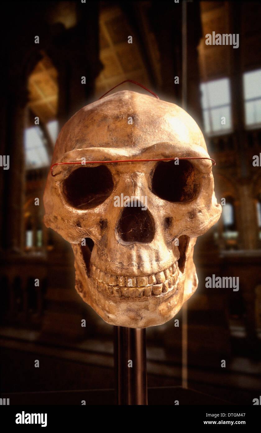 Homo Erectus, Peking-Mensch Schädel (Rekonstruktion) Stockbild