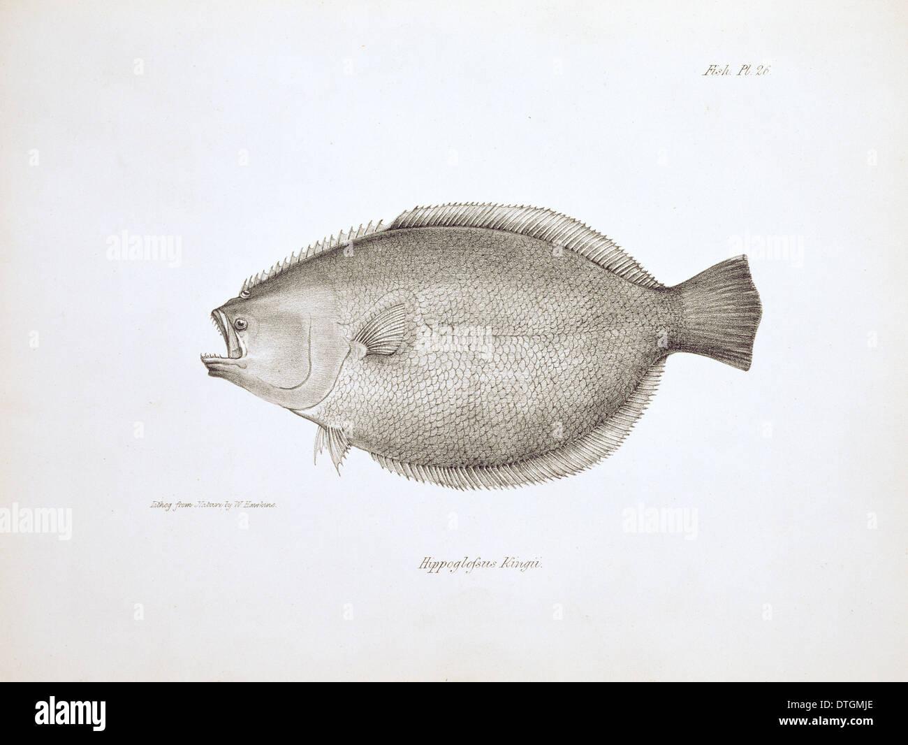 Flunder Paralichthys Adspersus, feine Stockbild