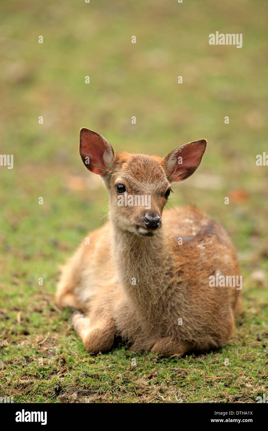 Sika Rotwild, junge / (Cervus Nippon) Stockbild