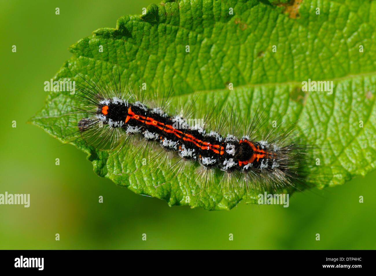 Gelb-Leitwerk, Raupe, Naturschutzgebiet Dingdener Heide, North Rhine-Westphalia, Deutschland / (Euproctis Similis) Stockbild