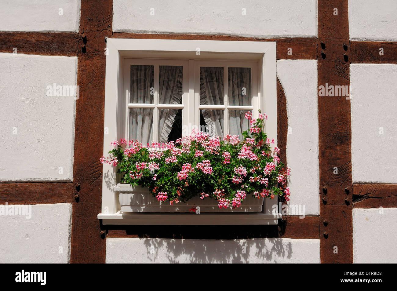 Blühende Geranien in Blumenkasten am Fenster, Drubbel ...