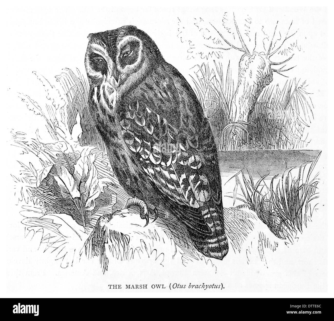 Marsh Eule Otus brachyotus Stockbild