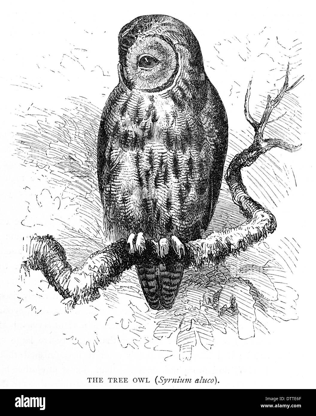 Baum Owl Syrnium aluco Stockbild