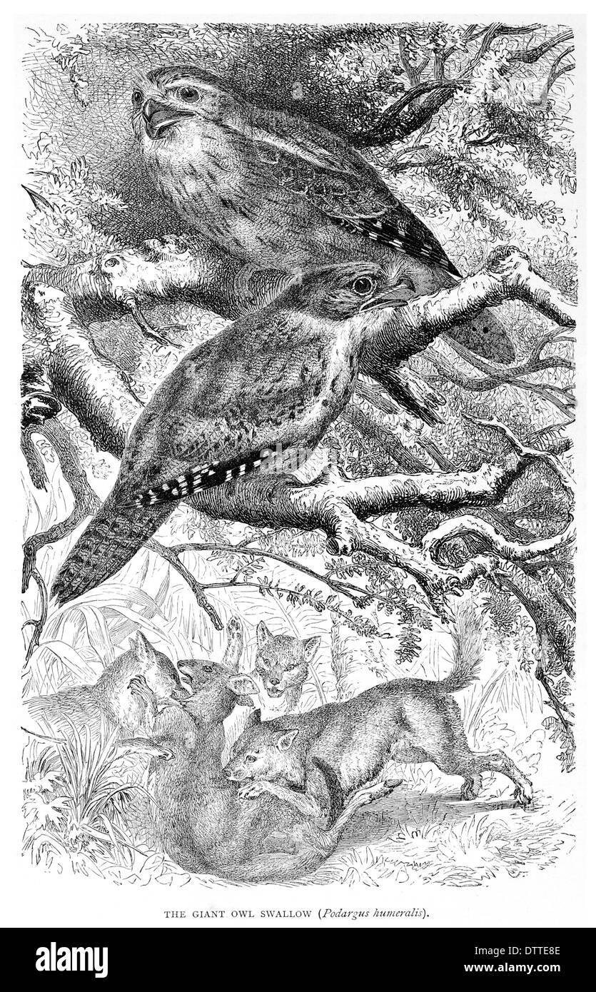 Riesen Eule schlucken ein humeralis Stockbild