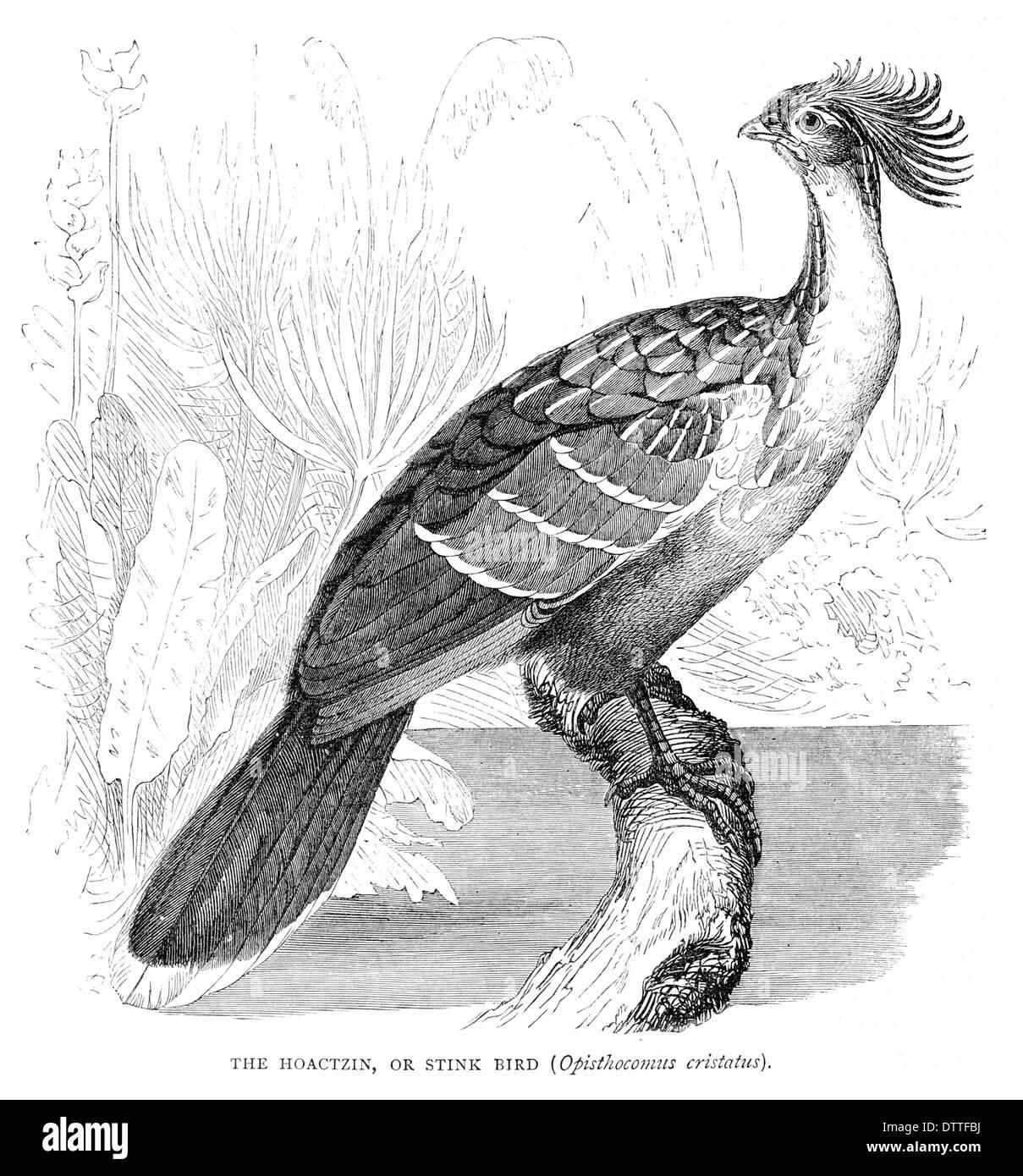 Hoactzin oder stinken Vogel Opisthocomus cristatus Stockbild