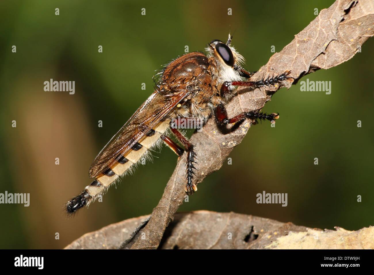 Eine große beängstigend und haarige Fliege am Rest, Räuber fliegen, Efferia, Stockbild