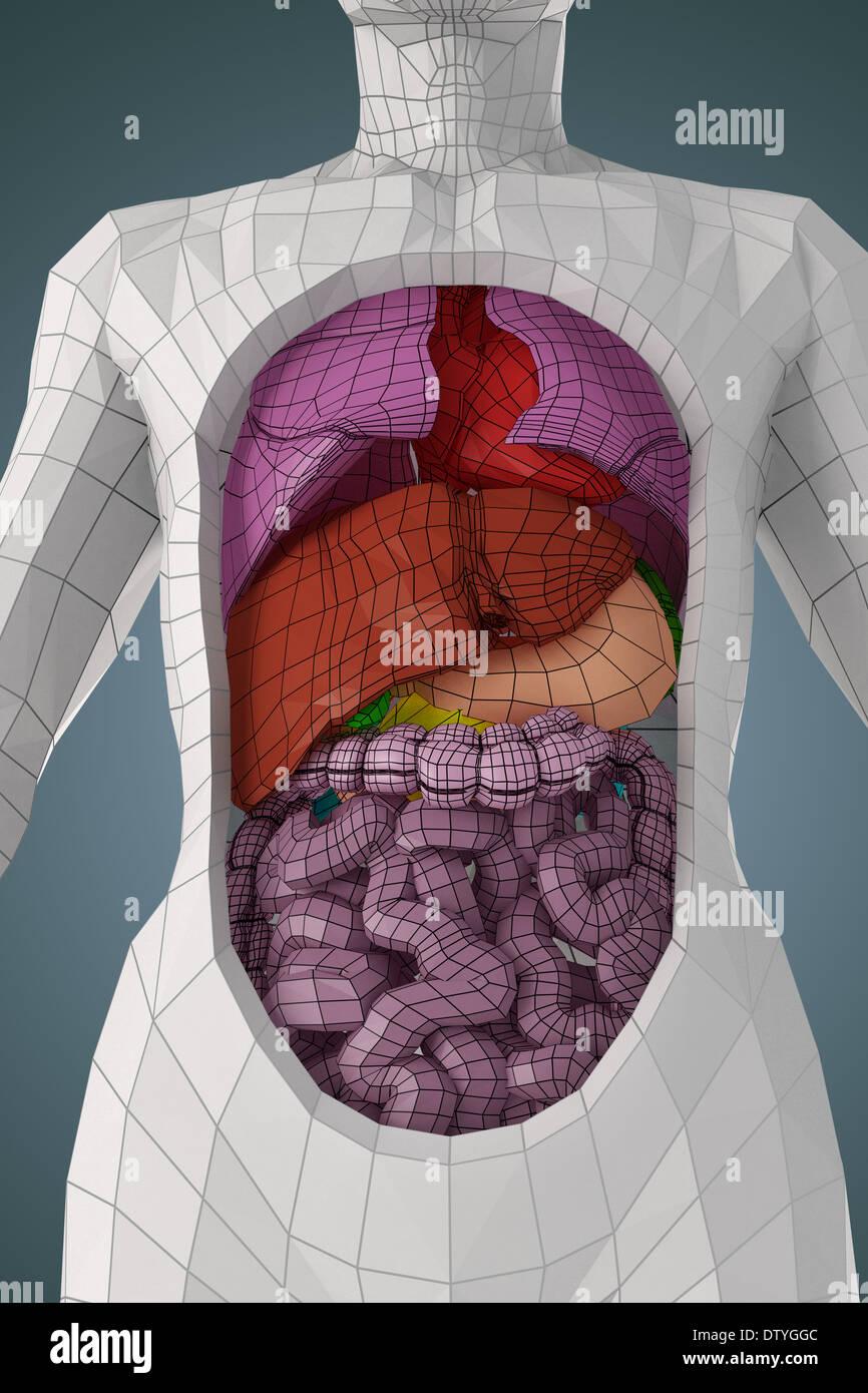 Anatomie des Menschen Stockfoto, Bild: 66988556 - Alamy