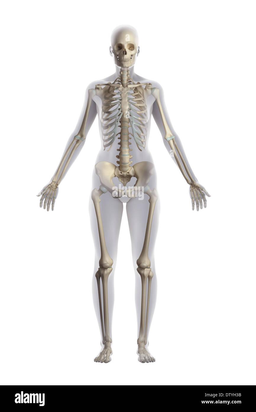 Skelett Anatomie (weiblich Stockfoto, Bild: 66988975 - Alamy