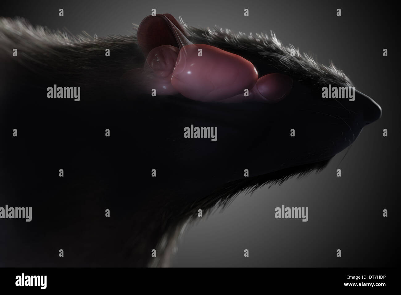 Anatomie des Gehirns Ratte Stockfoto, Bild: 66989266 - Alamy