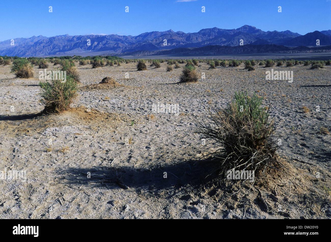 Elk248-2269 Kalifornien, Death Valley National Park, des Teufels Cornfield, Pfeil Unkraut Pflanzen Stockbild