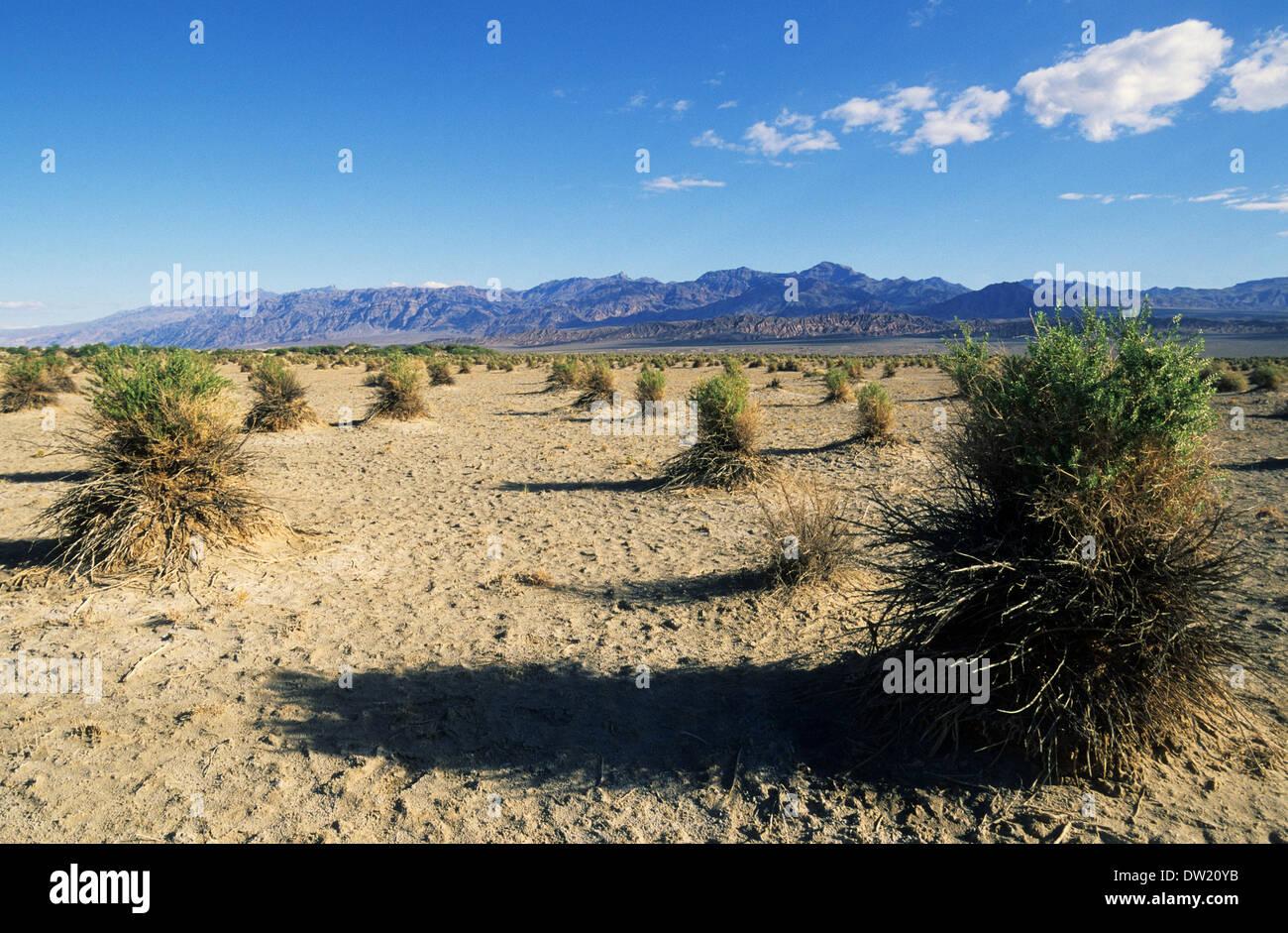 Elk248-2276 Kalifornien, Death Valley National Park, des Teufels Cornfield, Pfeil Unkraut Pflanzen Stockbild