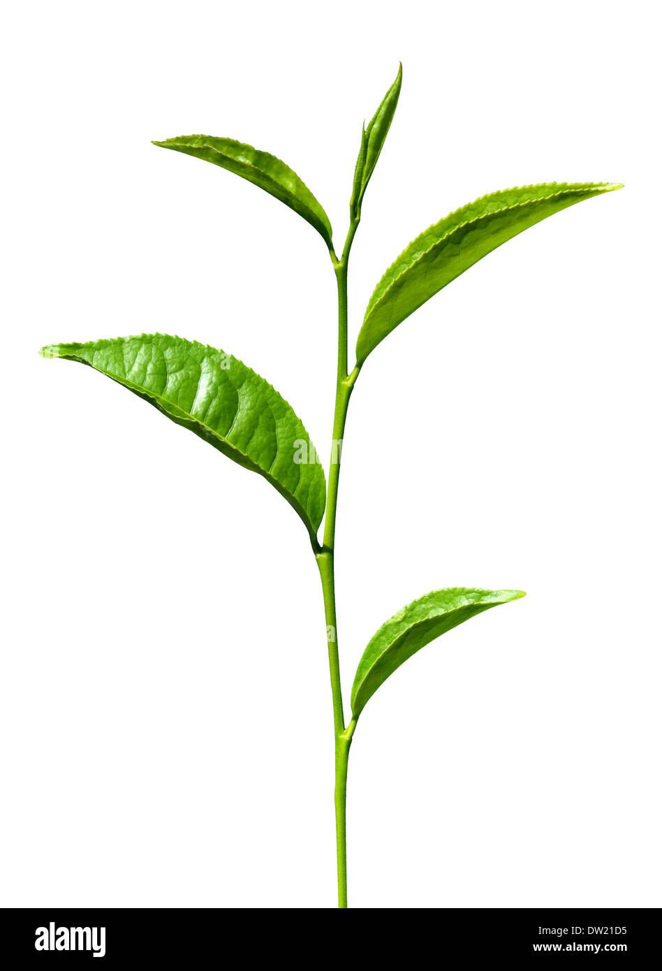 grüne Teeblätter isoliert Stockbild