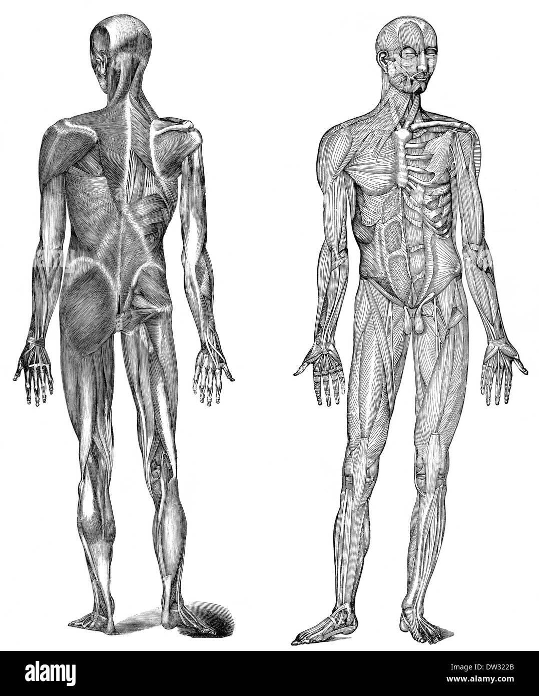 Menschliche Körperteile Stockfotos & Menschliche Körperteile Bilder ...