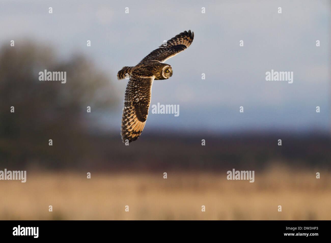 Sumpfohreule (Asio Flammeus) Jagd über grobe Grünland am Pilling Moss, Lancashire. Dezember. Stockfoto